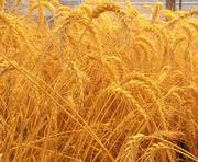 Продам муку пшеничную, масло подсолнечное.