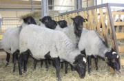 Жывой вес овцы,  ягнята Украина