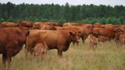 Жывой вес корова Украина